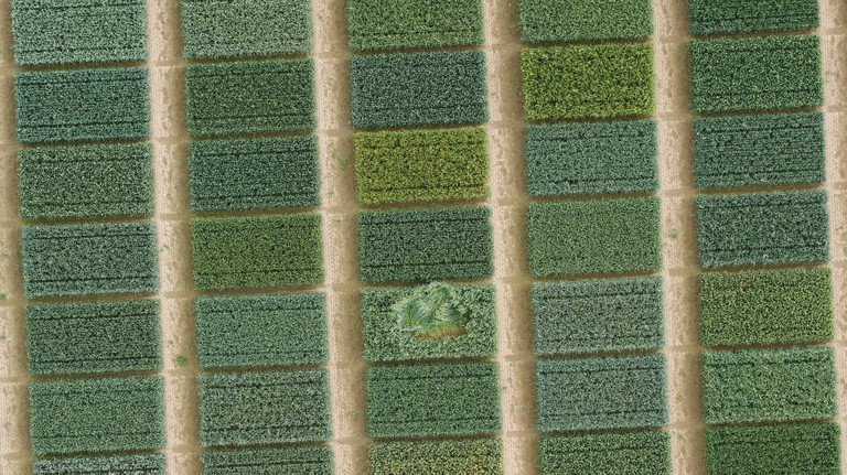 Parcelas de trigo, Como es habitual en los ensayos de cultivo, durante el paso elevado. © Foto: Philipp Lottes