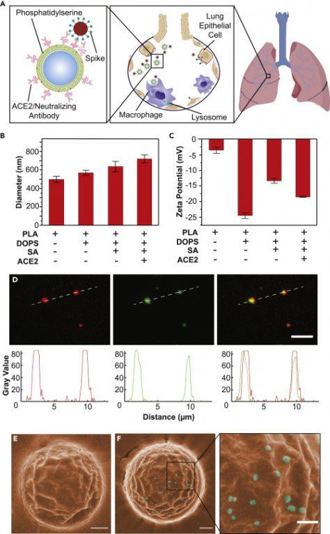 (A) Ilustración esquemática que muestra el proceso de Nanotraps con núcleo polimérico recubierto con bicapa lipídica funcionalizada con proteína ACE2 / anticuerpo neutralizante. Después de la administración intratraqueal, Nanotraps acumularon y atraparon eficazmente viriones de SARS-CoV-2 en el tejido pulmonar formando complejos virus-Nanotrap, que pueden ser eliminados por macrófagos mediante fagocitosis, bloqueando así la entrada de células virales. (B y C) Mediciones de dispersión dinámica de luz (B) y potencial zeta (C) durante las diferentes etapas de preparación de la nanotrapa. (D) Imágenes fluorescentes de los Nanotraps preparados con núcleo polimérico PLA (DiD, rojo) y ACE2 (anti-ACE2-AF488, verde). Las líneas discontinuas representan el perfil de la parcela que se muestra a continuación. La barra de escala representa 5 μm. (E y F) Imágenes SEM pseudocoloreadas de Nanotraps solos (E, naranja) o con pseudovirus SARS-CoV-2 (F, cian). Para visualizar mejor la selectividad para la unión viral, obtuvimos imágenes de Nanotraps más grandes. Las barras de escala representan 300 nm.